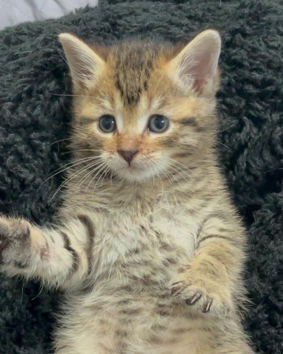 kitten tabby belly