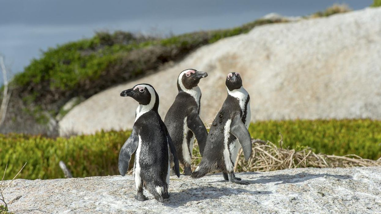 African penguins in Cape Town, South Africa.