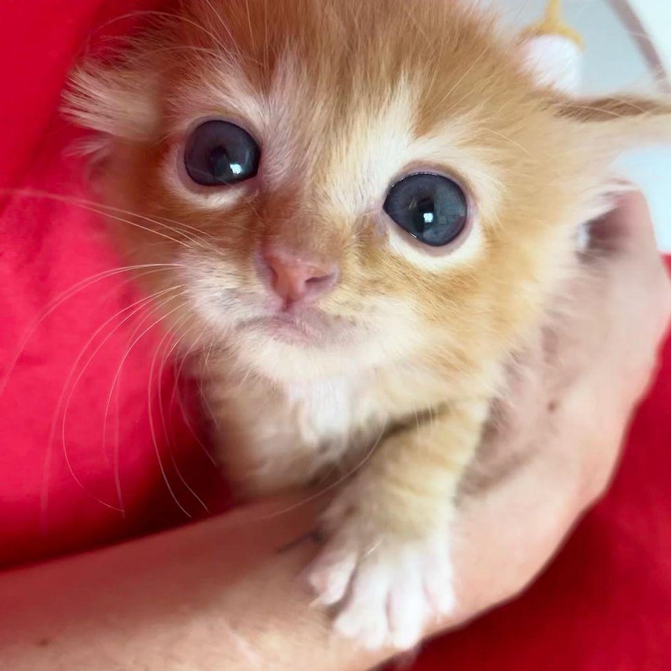 orange kitten big eyes