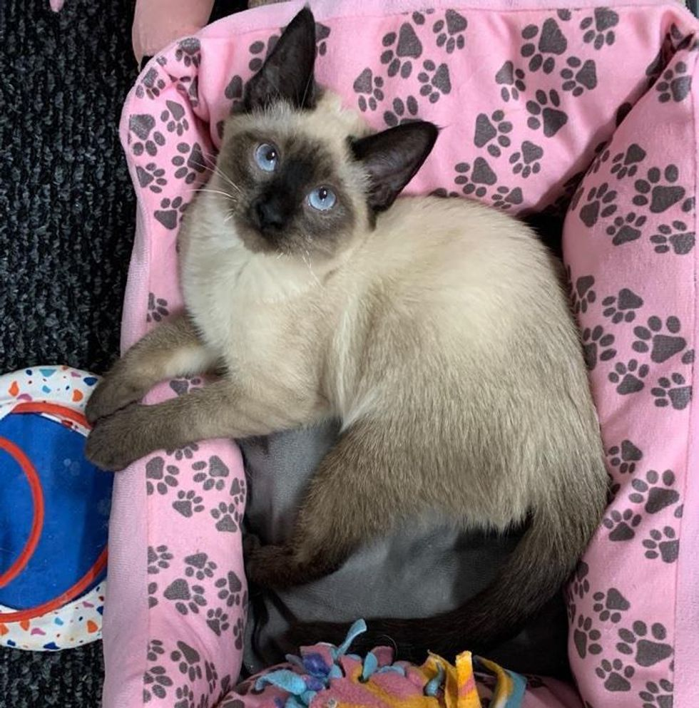 sweet siamese cat