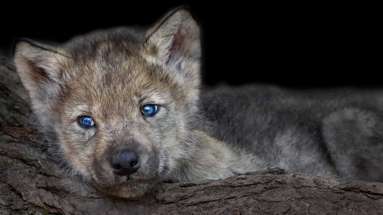 A gray wolf pup.