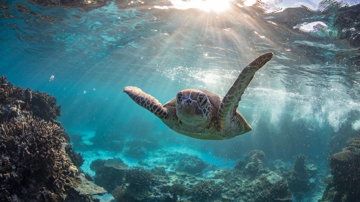 A green turtle swims underwater on the Great Barrier Reef.