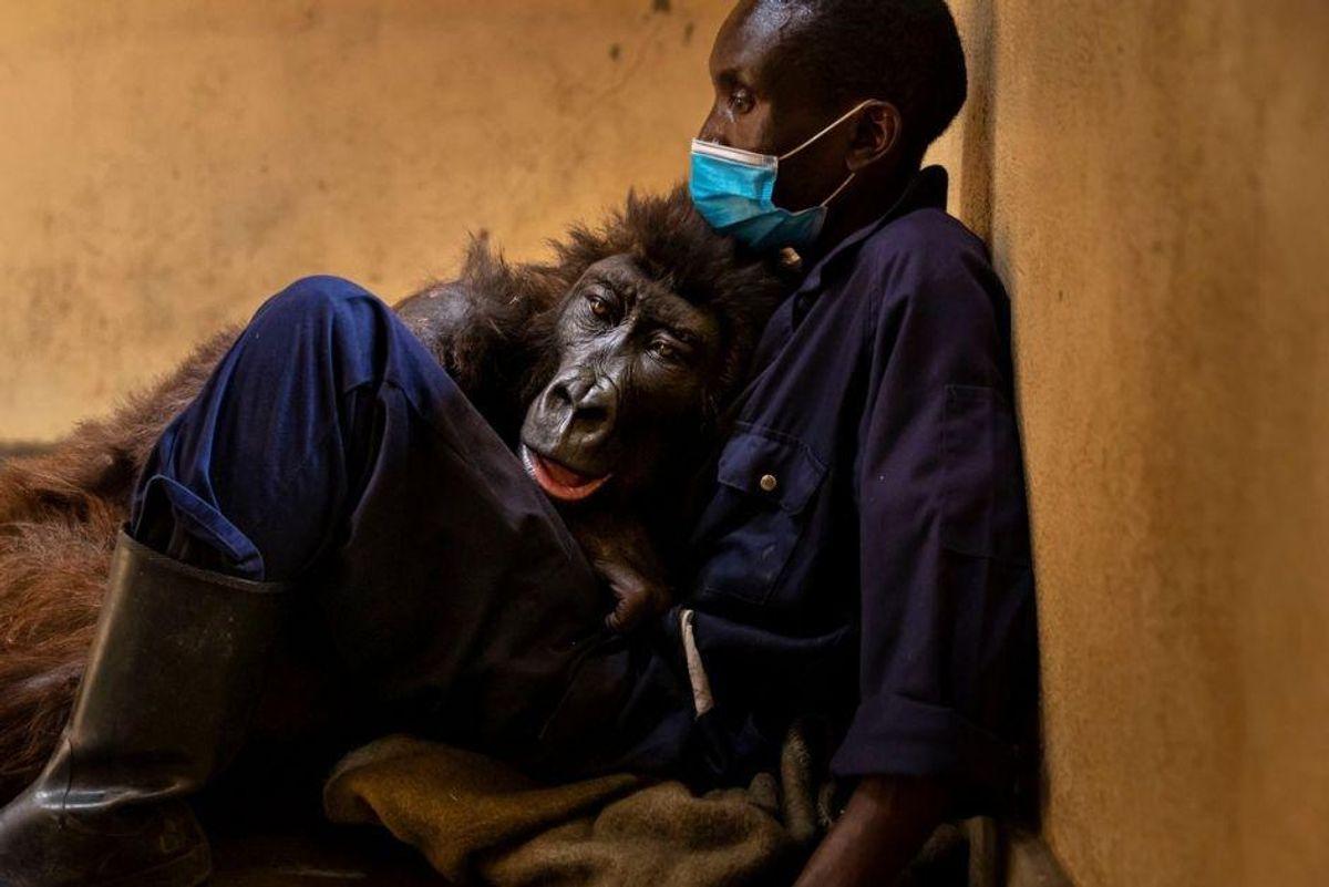 gorilla Ndakasi Virunga Congo