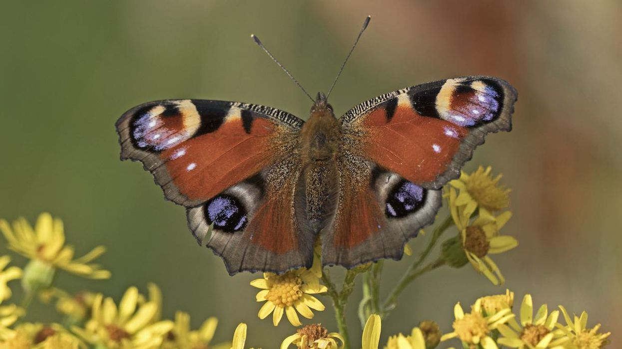 A peacock butterfly.