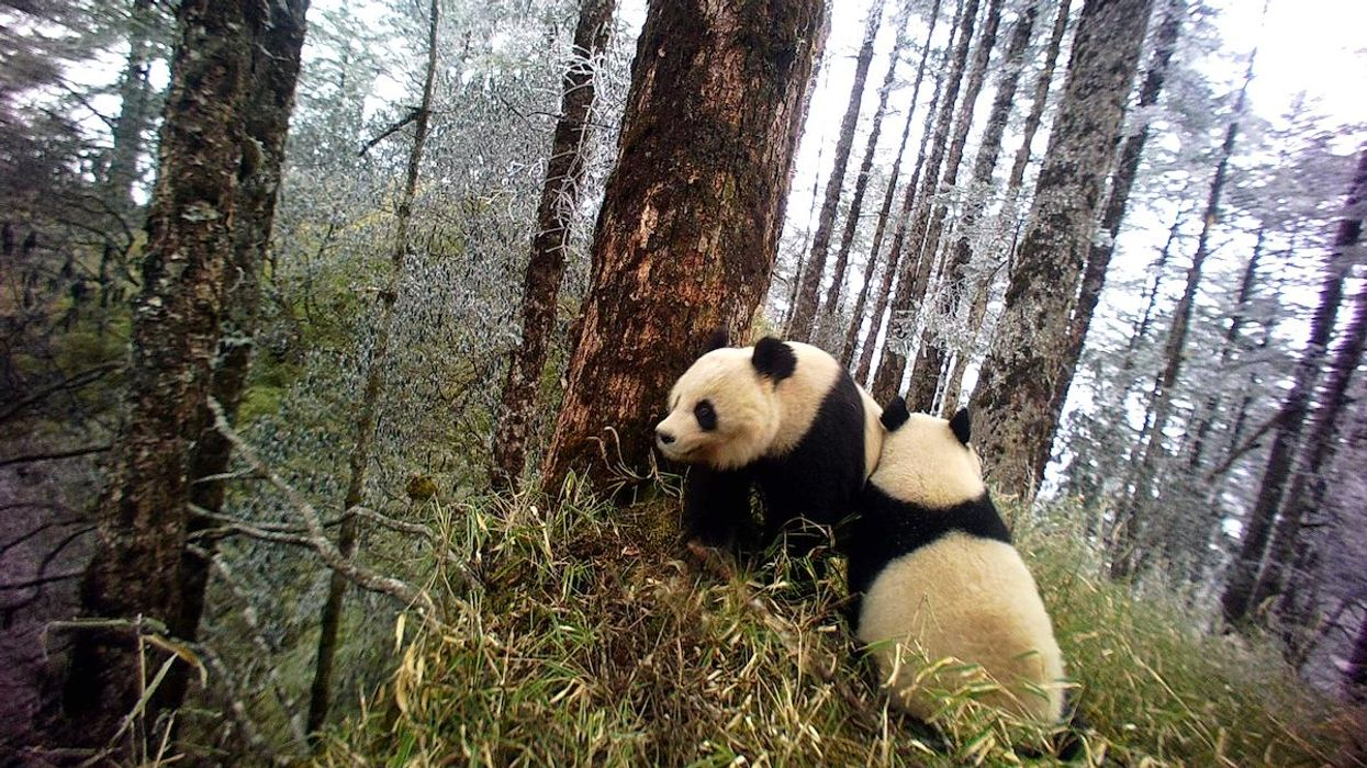 Two pandas in China's Wolong Nature Reserve.