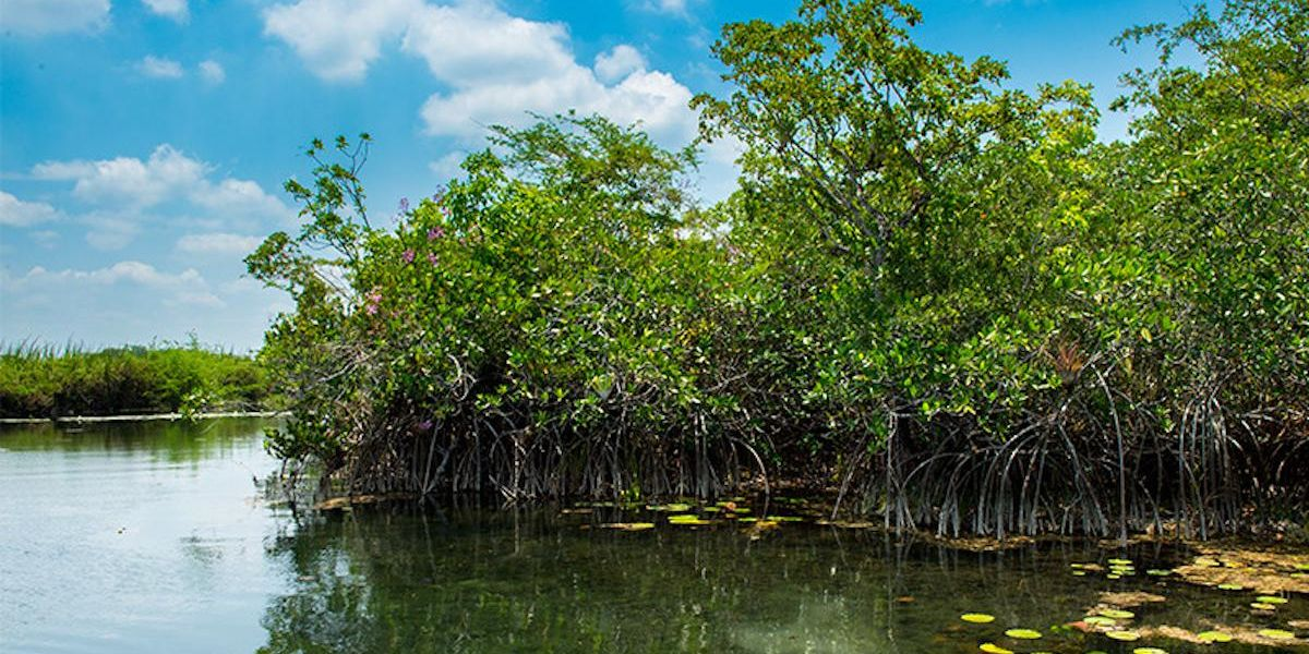 Mysterious Mangrove Forest Can Teach Us About Past and Future Sea Level Rise