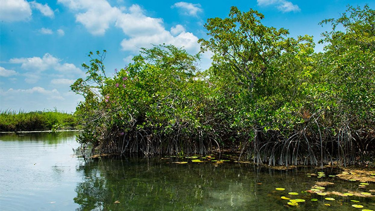 A stand of red mangroves.
