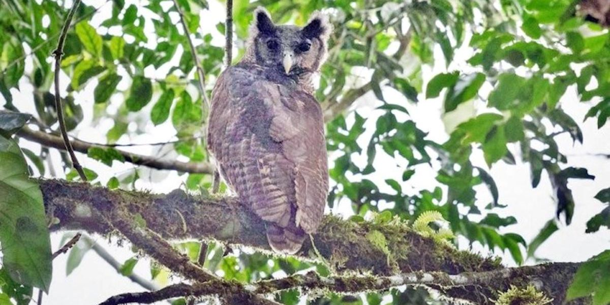 Rare Owl Photographed in Wild for First Time