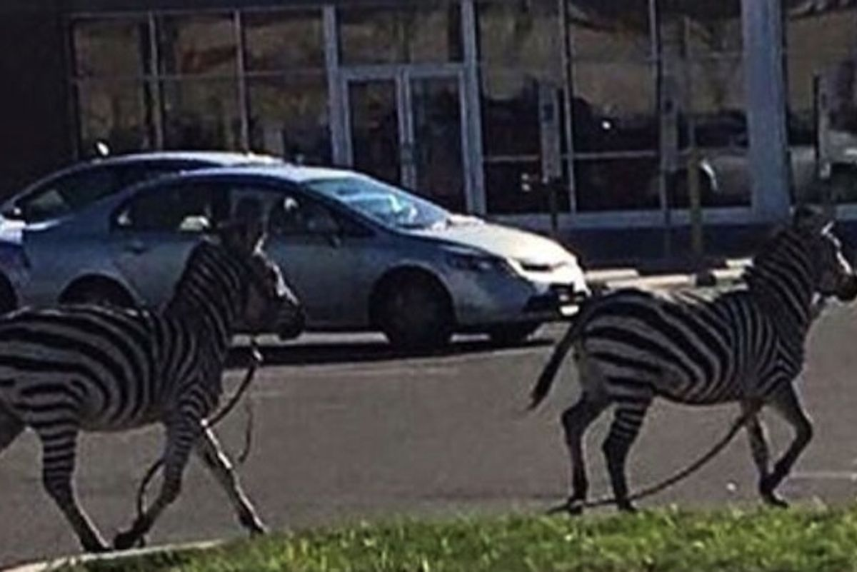 Two Stunt Queen Zebras Escaped From the Circus In Philly, Because You Can't Tame A Wild Heart