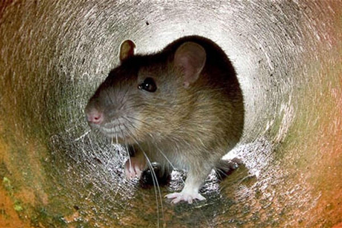 Listen To Electronic Music Made By Rats