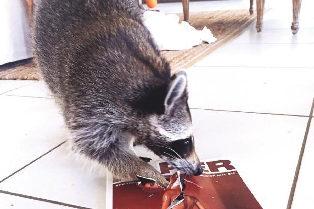 At Home With Pumpkin the Raccoon