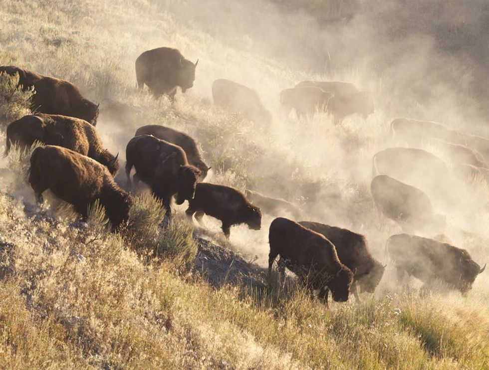 Furloughed bison pour back into national parks after government reopens