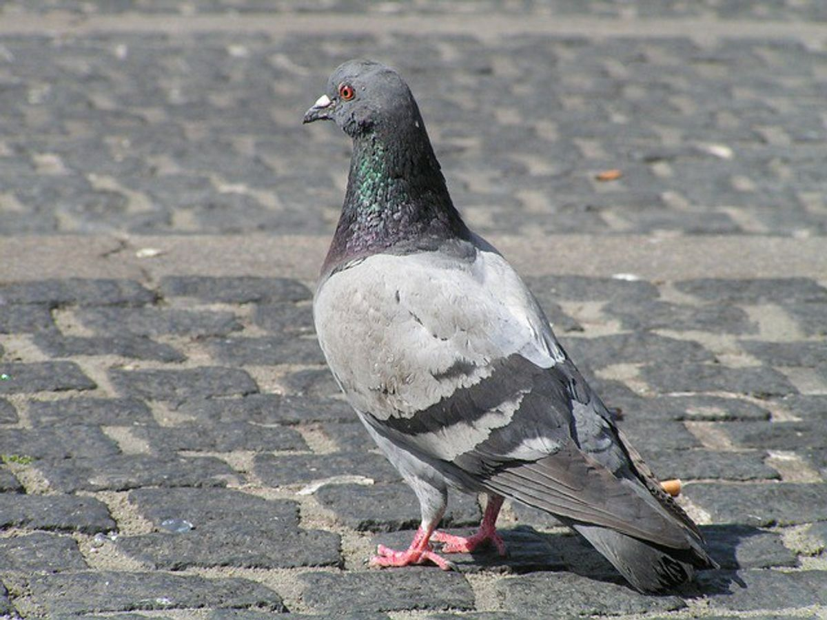 """""""Pigeons of Boston"""":The Best Facebook Page You've Never Heard Of"""