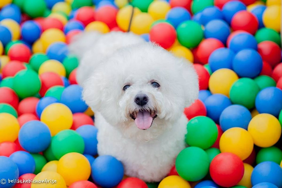 17 Reason The Bichon Frise Is The Best Dog Breed