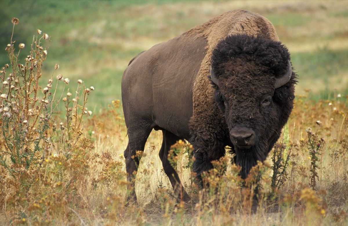 What Happened To The Bison In The 19th Century?