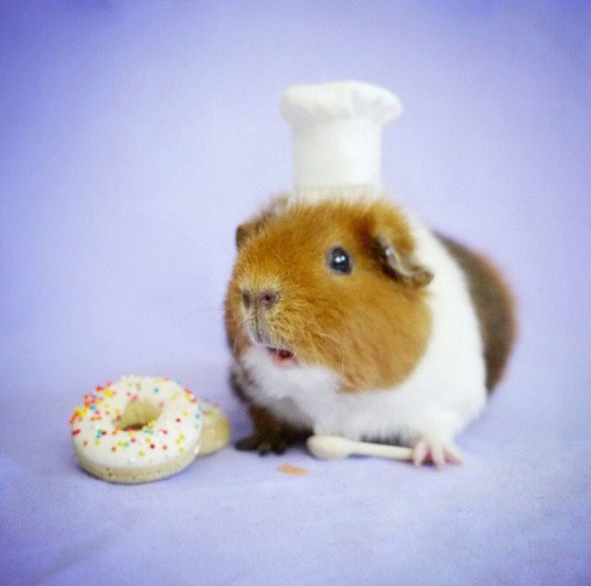 11 Reasons Guinea Pigs Are Adorable