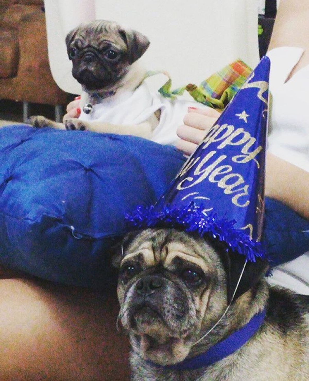 12 Reasons Why Pugs Are Better Than Anything Else On This Planet
