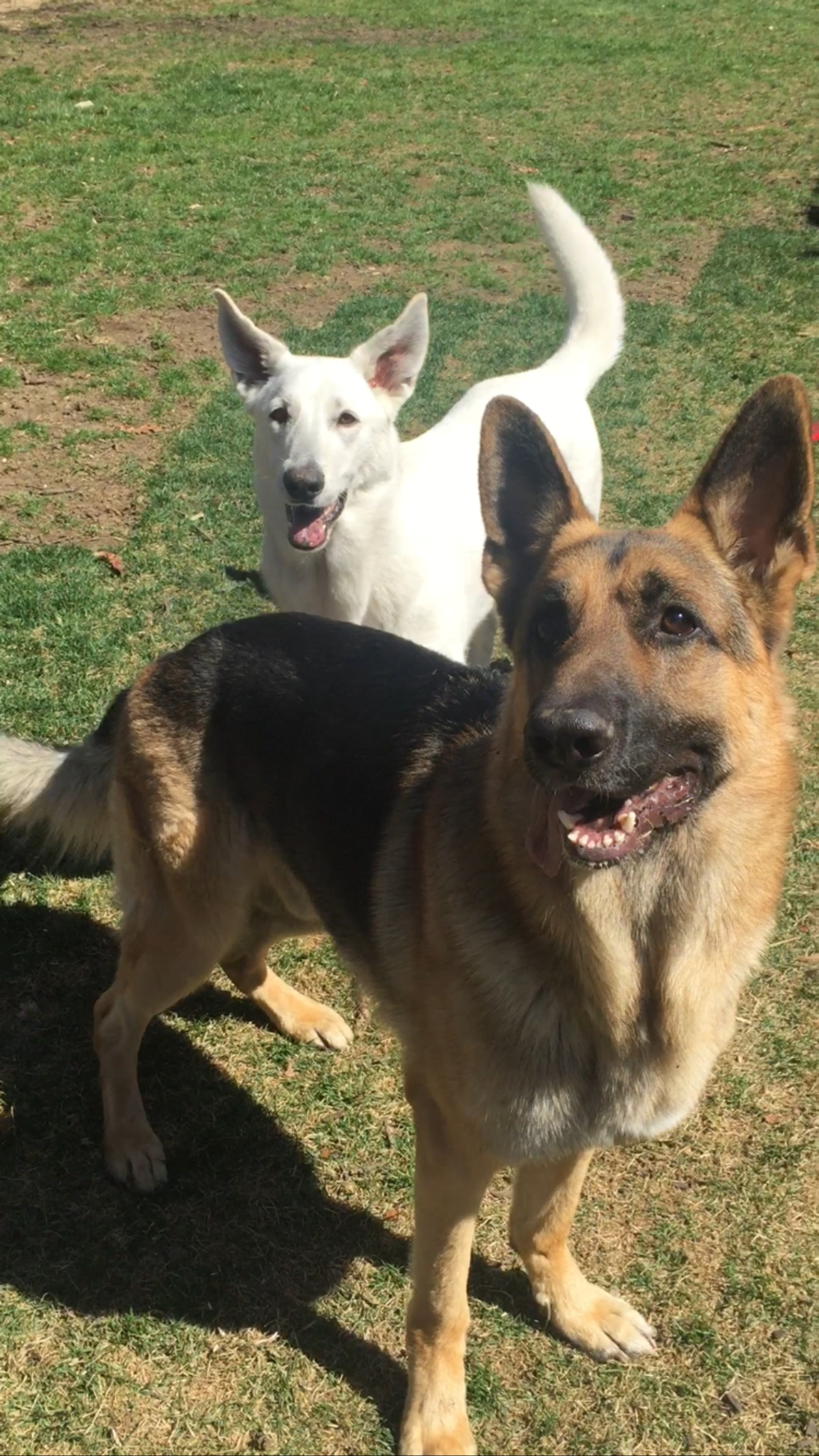 10 Reasons German Shepherds Are The Best Dogs