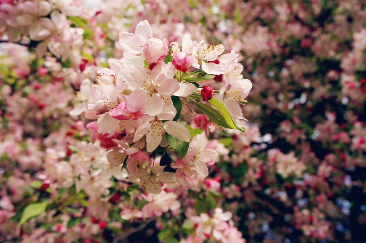9 Places to See Cherry Blossoms Around Yale (Before They're Gone)