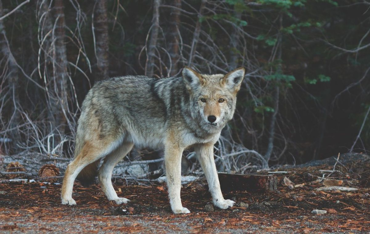 Are Wolves Really Big And Bad?