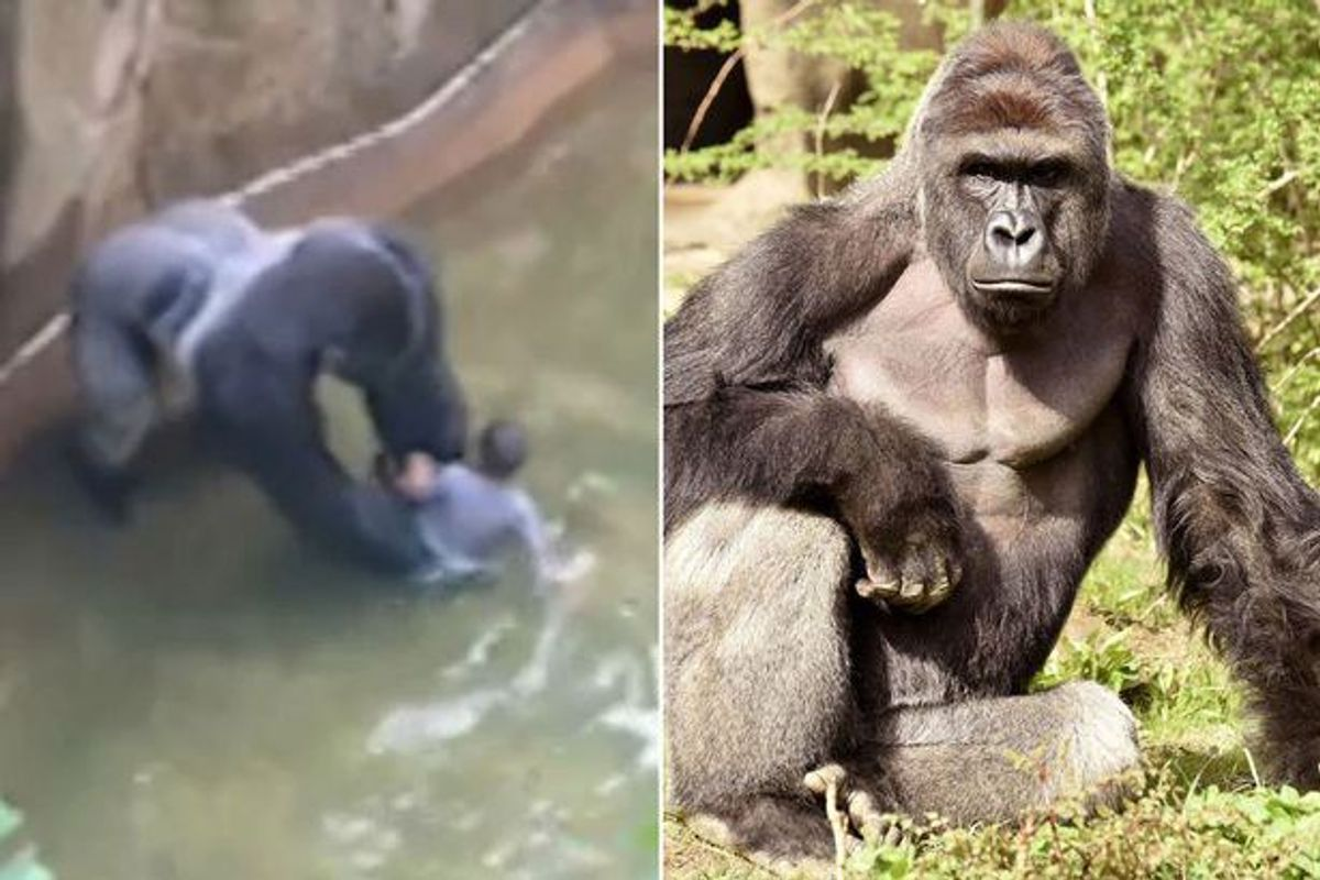 God Bless Harambe, But The Zoo Didn't Have A Choice