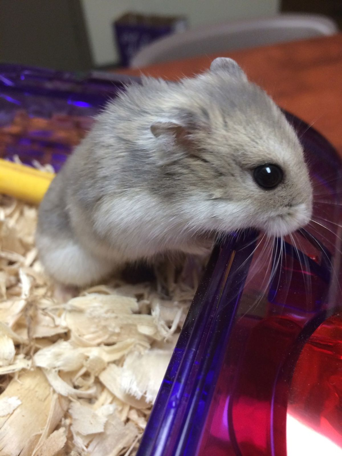 12 Reasons Why Having a Pet Hamster is the Best