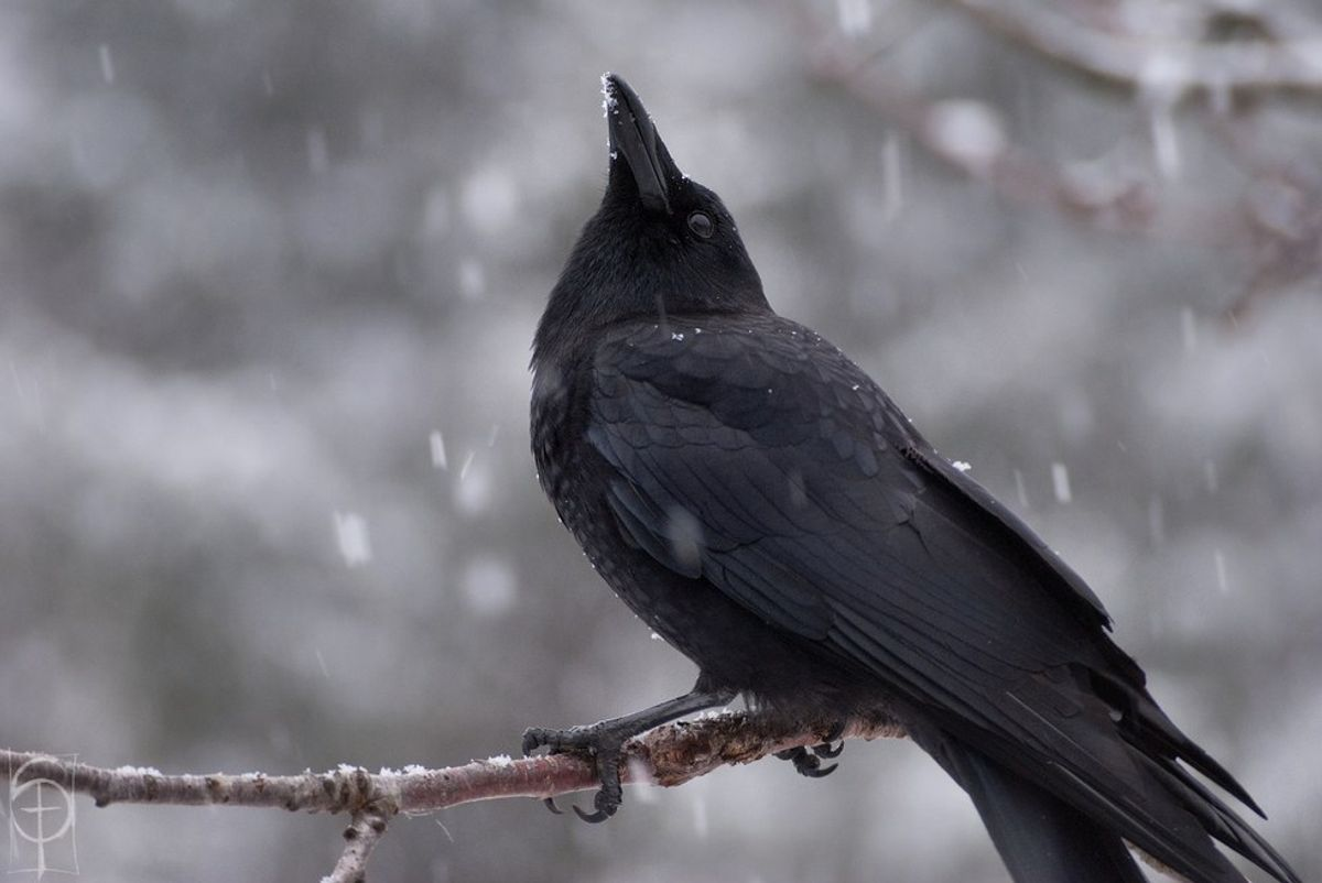 Murder Most Foul: Why Crows Are Underrated