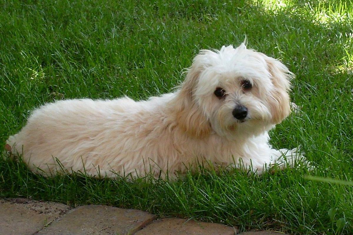 Buy Cavachon puppy for sale from South Dakota USA