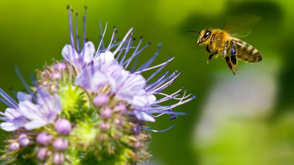 The Honey Bee: Why Do They Keep Disappearing?