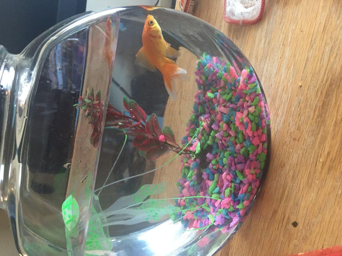 College Pets: Goldfish