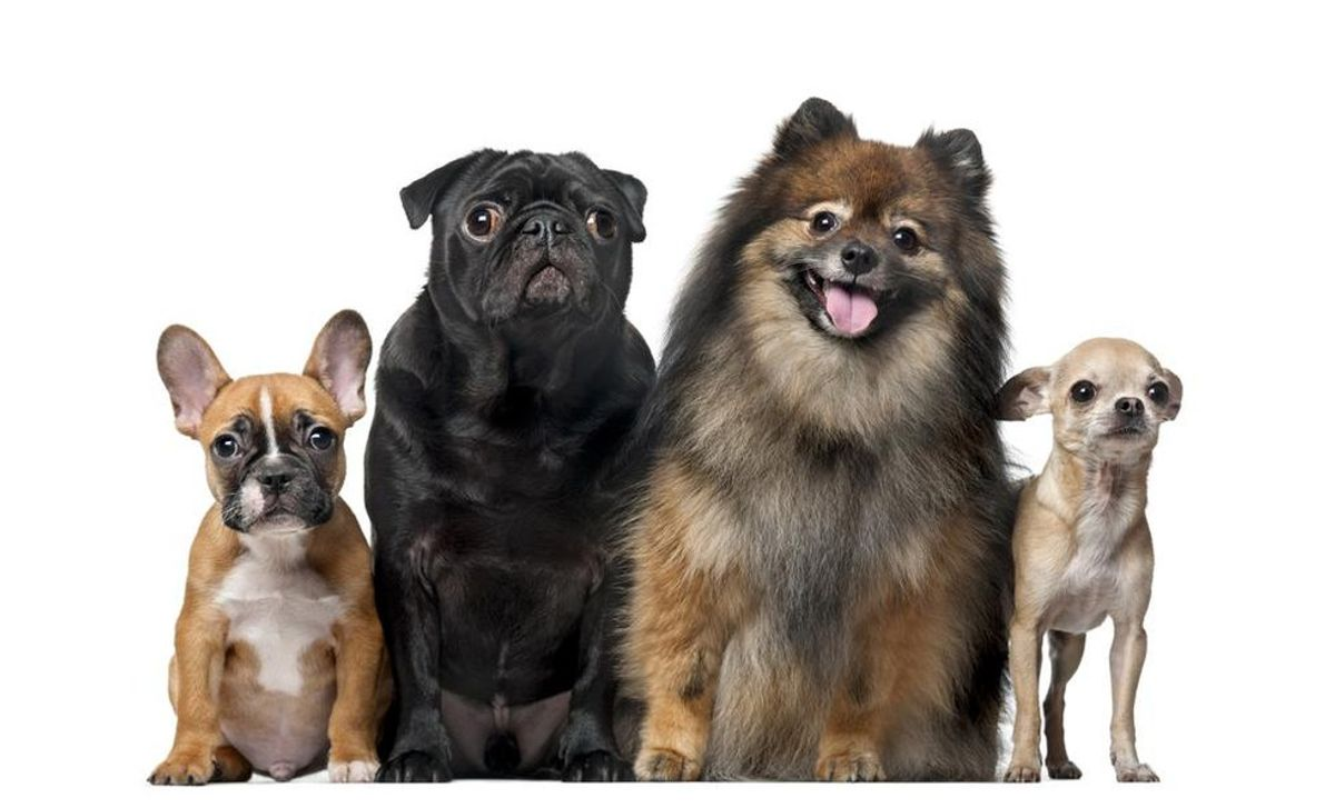 Top 10 Best Dogs for Apartment Living