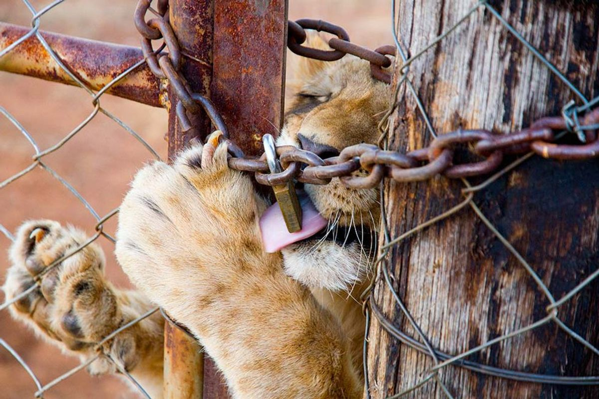 How Walking With Lions Contributes To The Cruel Canned Lion Industry