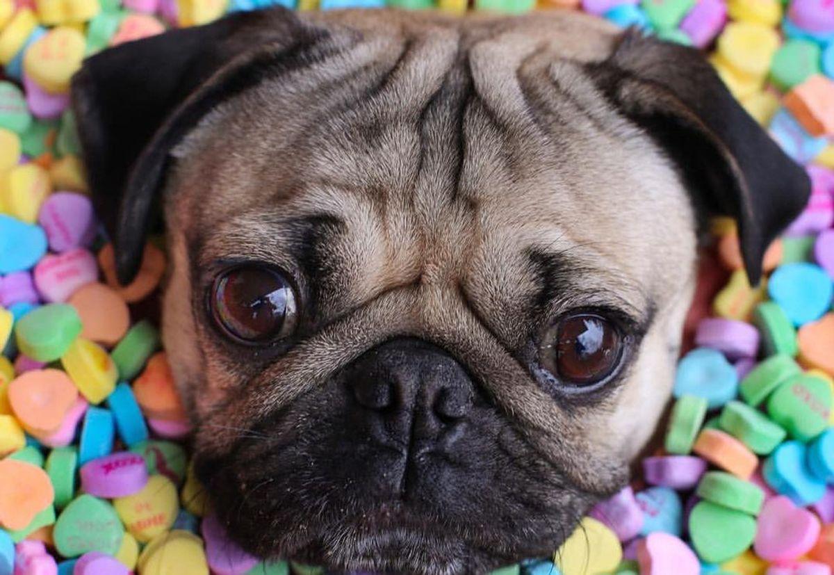 10 Reasons Literally Everyone Needs A Pug