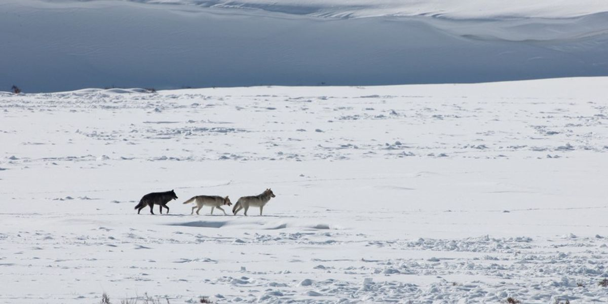 Heroes: Life Lessons From Yellowstone's Wolves