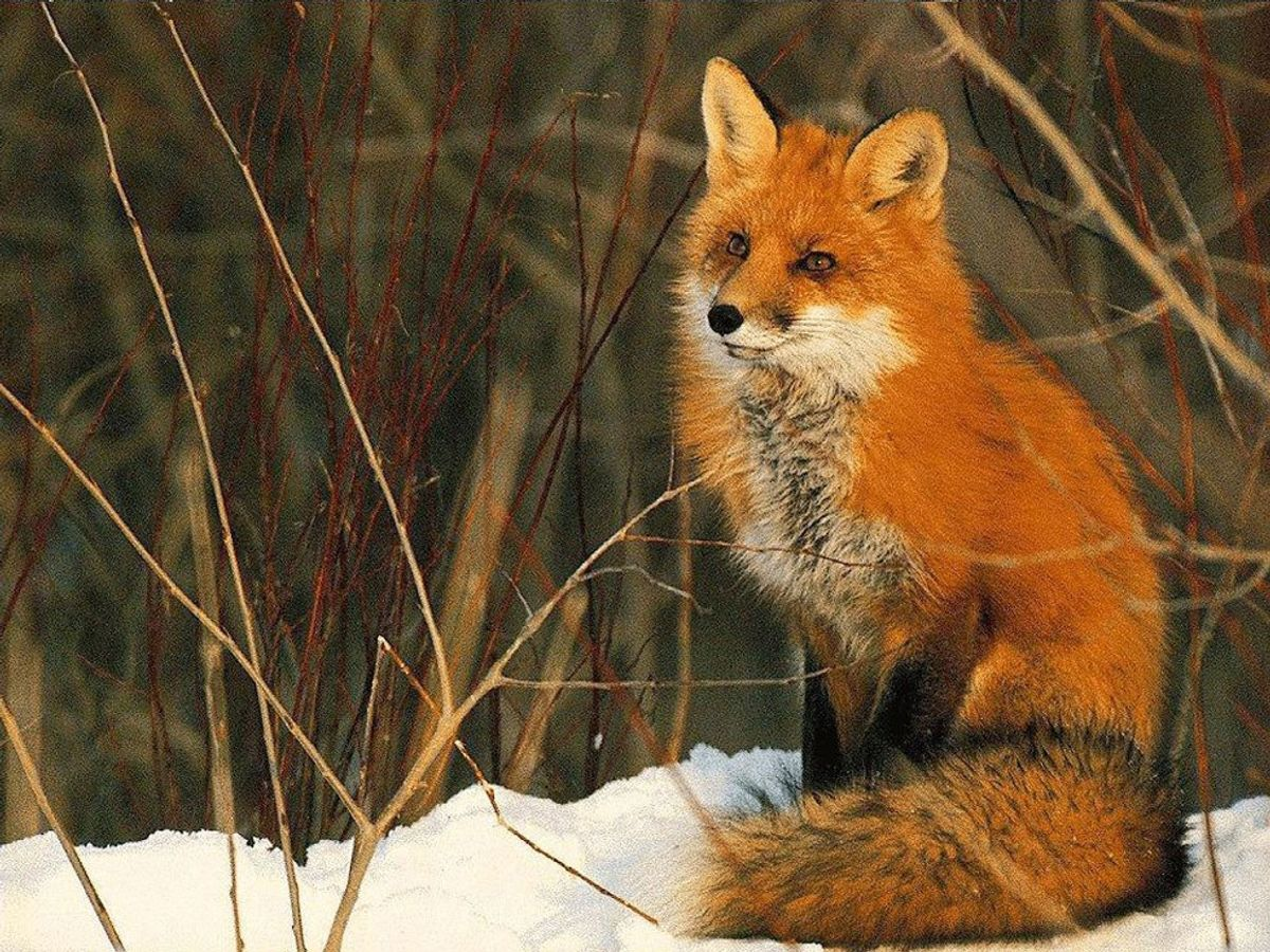 5 Reasons You Should Love Foxes Too