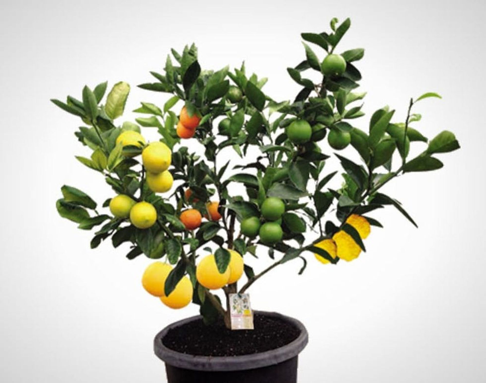 Wtf This 1 Tree Grows 7 Different Kinds Of Fruit No Joke
