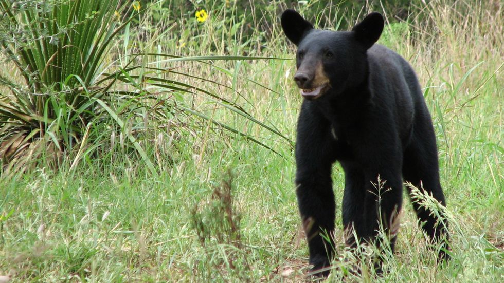 To survive in Texas, black bears need an open border